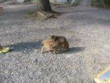 прикол) обезьянка верхом на поросёнке))